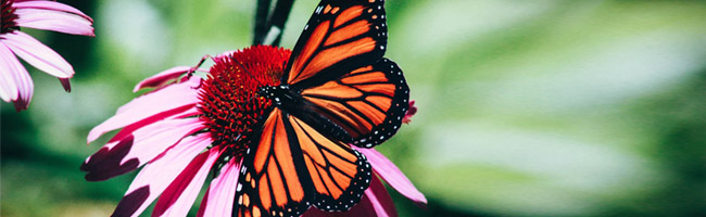 Butterfly Header Image
